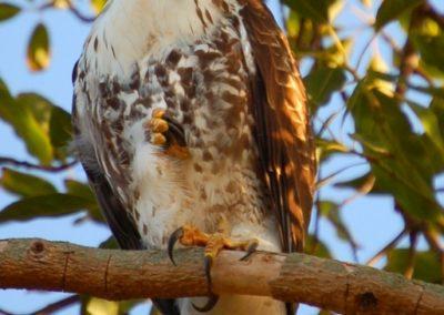 Baby Hawk